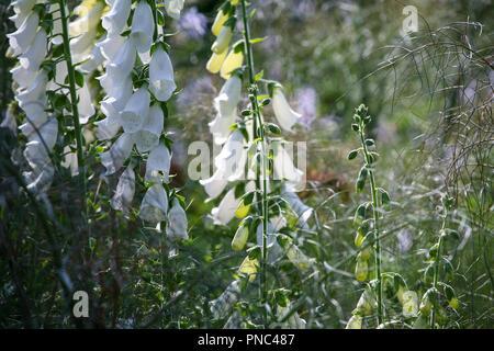 Digitalis purpurea 'Alba' - White foxgloves in an herbaceous planting scheme, summer - Stock Photo