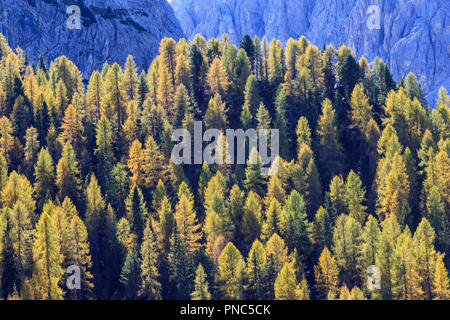 Autumn Larch tree forest in the Alps - Stock Photo