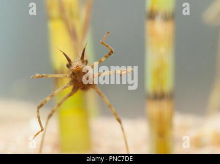 Banded demoiselle larva - Stock Photo