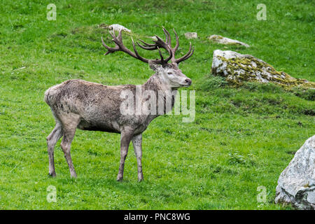 Red deer stag / male (Cervus elaphus) in Alpine meadow on mountain slope in the mountains of the Alps / Pyrenees - Stock Photo