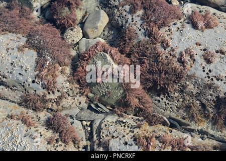 Red seaweed in Rock Pool, UK - Stock Photo