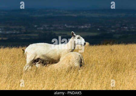 A large lamb still suckles from its mother. - Stock Photo