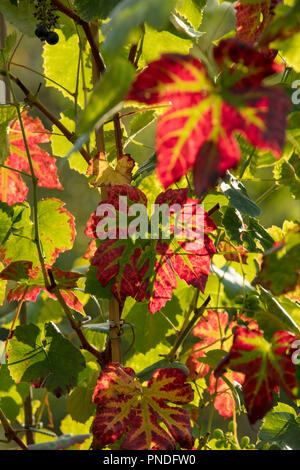 The vine leaves of Vitis Vinifera Black Hamburg turning red with green veins in late summer, early autumn, backlit by the late evening sun rays. - Stock Photo