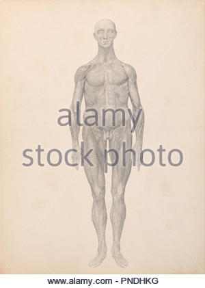 Anatomical study of muscle in the human body Stock Photo: 67352006 ...