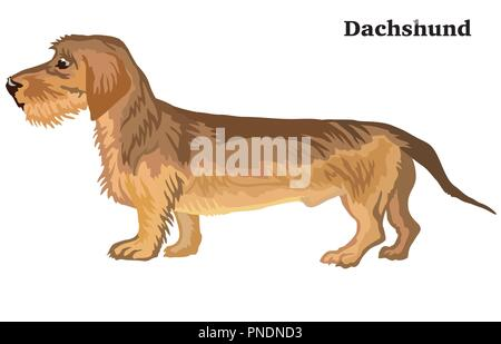 Portrait of standing in profile Dachshund (wire-haired) dog, vector colorful illustration isolated on white background - Stock Photo
