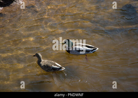 Cute pair of female and male ducks swimming together in a pond. Wild birds. - Stock Photo