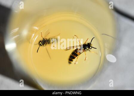 Wasps (Hymenoptera): two wasps lured to the sugar content of apple juice on a hot summer's day - Stock Photo