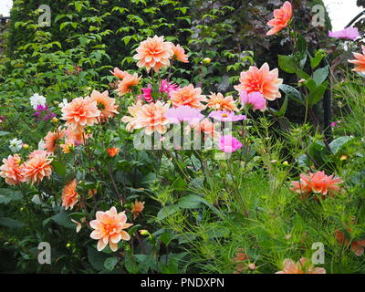 Stunning shades of pink dahlias and late summer flowers in the plant borders at Chenies Manor Garden, Buckinghamshire in September. - Stock Photo