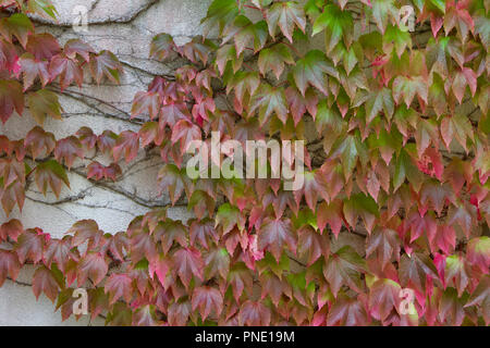 Background abstract of autumn red and green colored vine leaves on a white stucco wall - Stock Photo