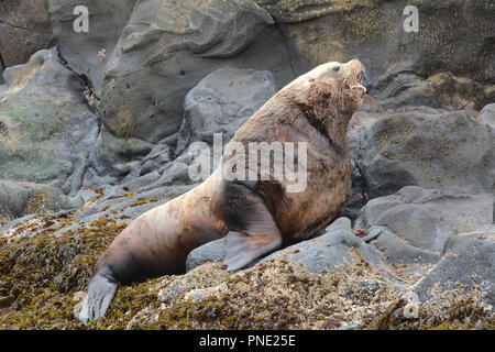 A large adult steller sea lion male (bull), resting on a rookery alone during breeding season in the Bering Sea, Aleutian Islands, Unalaska, Alaska. - Stock Photo