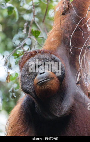 Adult male Bornean orangutan, Pongo pygmaeus, Tanjung Harapan, Borneo, Indonesia. - Stock Photo