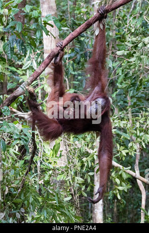 Mother and baby Bornean orangutan, Pongo pygmaeus, at Camp Leakey, Borneo, Indonesia. - Stock Photo