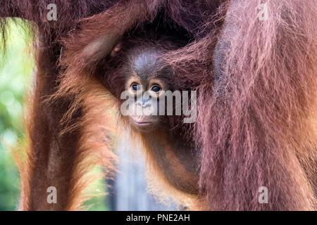 Mother and baby Bornean orangutans, Pongo pygmaeus, Buluh Kecil River,  Borneo, Indonesia. - Stock Photo