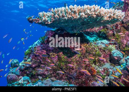 A school of Yellowback anthias (Pseudanthias evansi  (Smith, 1954)) swimming around edge of coral reef. Yap island Federated States of Micronesia - Stock Photo