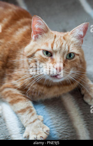 Close-up of ginger fluffy cat at home relaxing - Stock Photo