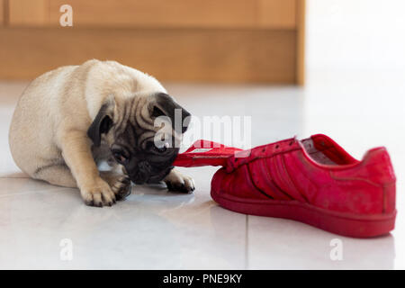 Cute Pug Puppy Playing with Red Shoe - Stock Photo