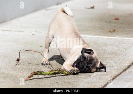 Cute Pug Puppy Playing with a Stick - Stock Photo