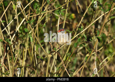 An Australian, Queensland Red-browed Finch ( Neochmia temporalis ) perched in thick bush looking for food - Stock Photo