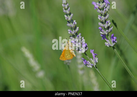 Orange skipper butterfly possibly small, Essex or Lulworth Latin thymelicus sylvestris, lineola or acteon family hesperiidae feeding on lavender - Stock Photo