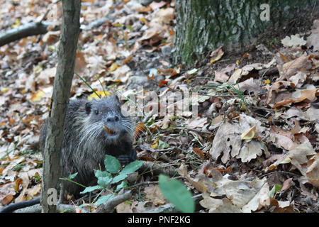 A nutria, or coypu, a large, herbivorous, semiaquatic rodent, eating an acorn on brown leaves in the Ticino national park forest in autumn, Italy - Stock Photo