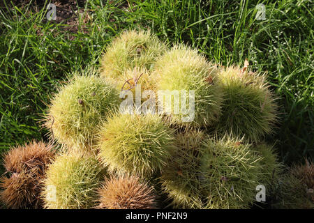A stack of Spanish chestnuts (Castanea sativa) green and brown burrs, at the sunlight, in the green grass of a lawn - Stock Photo