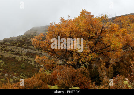 A big yellow tree in the foggy mountains and hills in autumn while while hiking from Yebra de Basa town to Santa Orosia church on the Pyrenees, Spain - Stock Photo