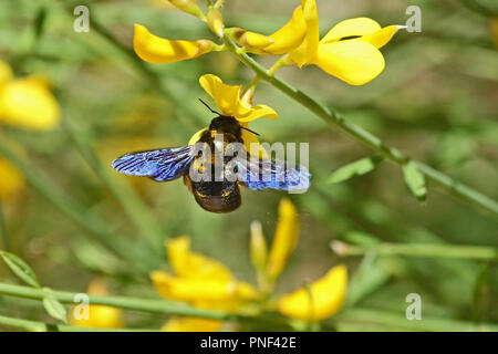 Carpenter bee Latin name xylocopa violacea on yellow broom or ginsestra flower Latin name cytisus scoparius or spachianus in spring in Italy - Stock Photo