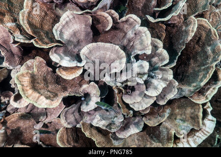 Very shallow coral reef covered with cabbage coral (Turbinaria sp.). Yap island Federated States of Micronesia - Stock Photo