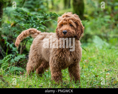 A young red Cockapoo puppy enjoying being amongst the trees in a local forest - Stock Photo