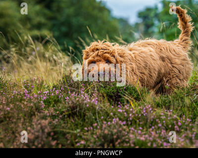 A young red Cockapoo puppy enjoying being amongst the heather in a local moorland area - Stock Photo