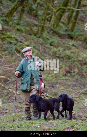 man picking up dead pheasants on a shoot with black labradors - Stock Photo