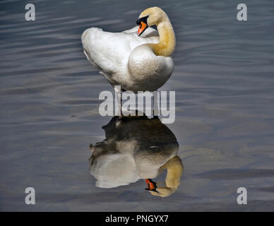 Mute swan, Cygnus olor,  standing in shallow water and preening with beautiful reflection on water. - Stock Photo