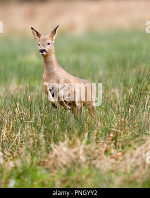 roe deer Capreolus capreolus - Stock Photo