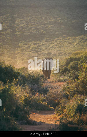A single African Elephant approaches in Addo Elephant National Park, South Africa, Africa - Stock Photo