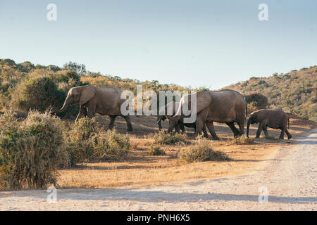 A family of African Elephants crossing the road in Addo Elephant National Park, South Africa, Africa - Stock Photo