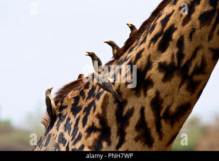 Both species of Oxpecker, Red-billed and Yellow-billed are perched on the neck of the giraffe providing a valuable service removing skin parasites - Stock Photo