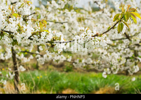 Beautiful white flowers of cherry trees in the orchard, Sussex, England, selective focus - Stock Photo