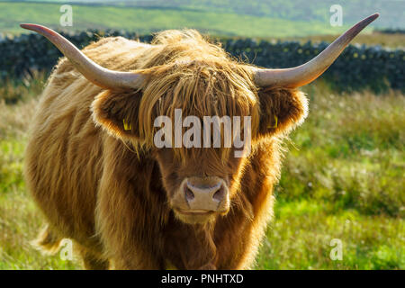 Close up of a backlit head shot of a highland cow looking towards camera Stock Photo