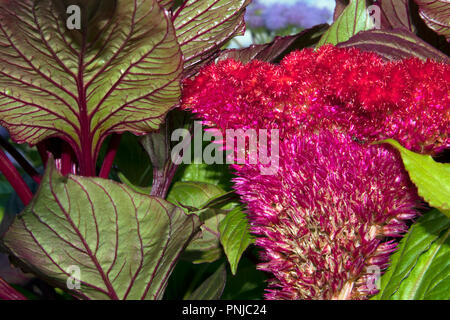 Beautiful flower of purple garden Celosia cristata against green leaves with burgundy streaks - Stock Photo