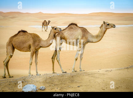 A herd of wild camels in the desert near Al Ain, UAE - Stock Photo
