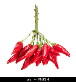 many little fresh hot red Chili peppers on twig cut out on white background - Stock Photo