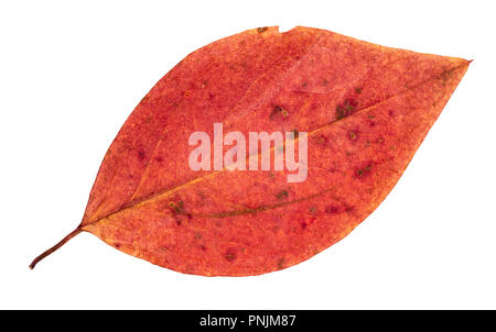 dried fallen red autumn leaf of malus tree cut out on white background - Stock Photo