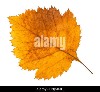 dried fallen autumn leaf of hawthorn tree cut out on white background - Stock Photo