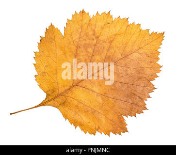 dried fallen yellow autumn leaf of hawthorn tree cut out on white background - Stock Photo