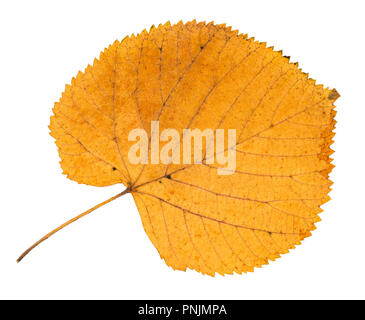 dried fallen yellow autumn leaf of linden tree cut out on white background - Stock Photo