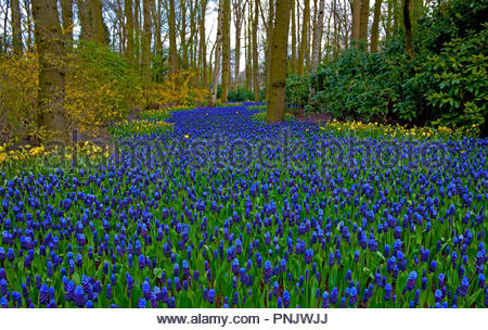 Keukenhof, Muscari Latifolium, also known as the Garden of Europe, is one of the world's largest flower gardens, in Lisse, South Holland, Netherlands - Stock Photo