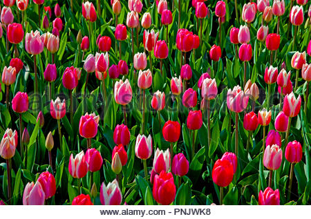 Keukenhof, tulips, also known as the Garden of Europe, is one of the world's largest flower gardens, situated in Lisse, South Holland, Netherlands - Stock Photo