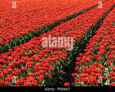 Field in the Dutch Northeast Polder with blooming red tulips in the spring - Stock Photo