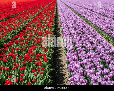 Field in the Dutch Noordoostpolder with blooming red and purple tulips in the spring - Stock Photo
