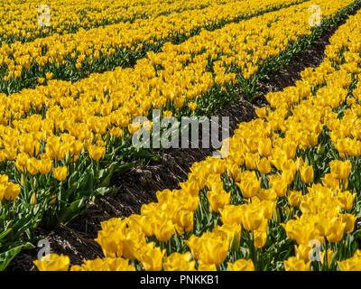 Field in the Dutch Noordoostpolder with flowering yellow tulips in the spring - Stock Photo
